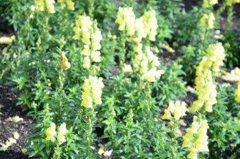 YellowSnapdragons