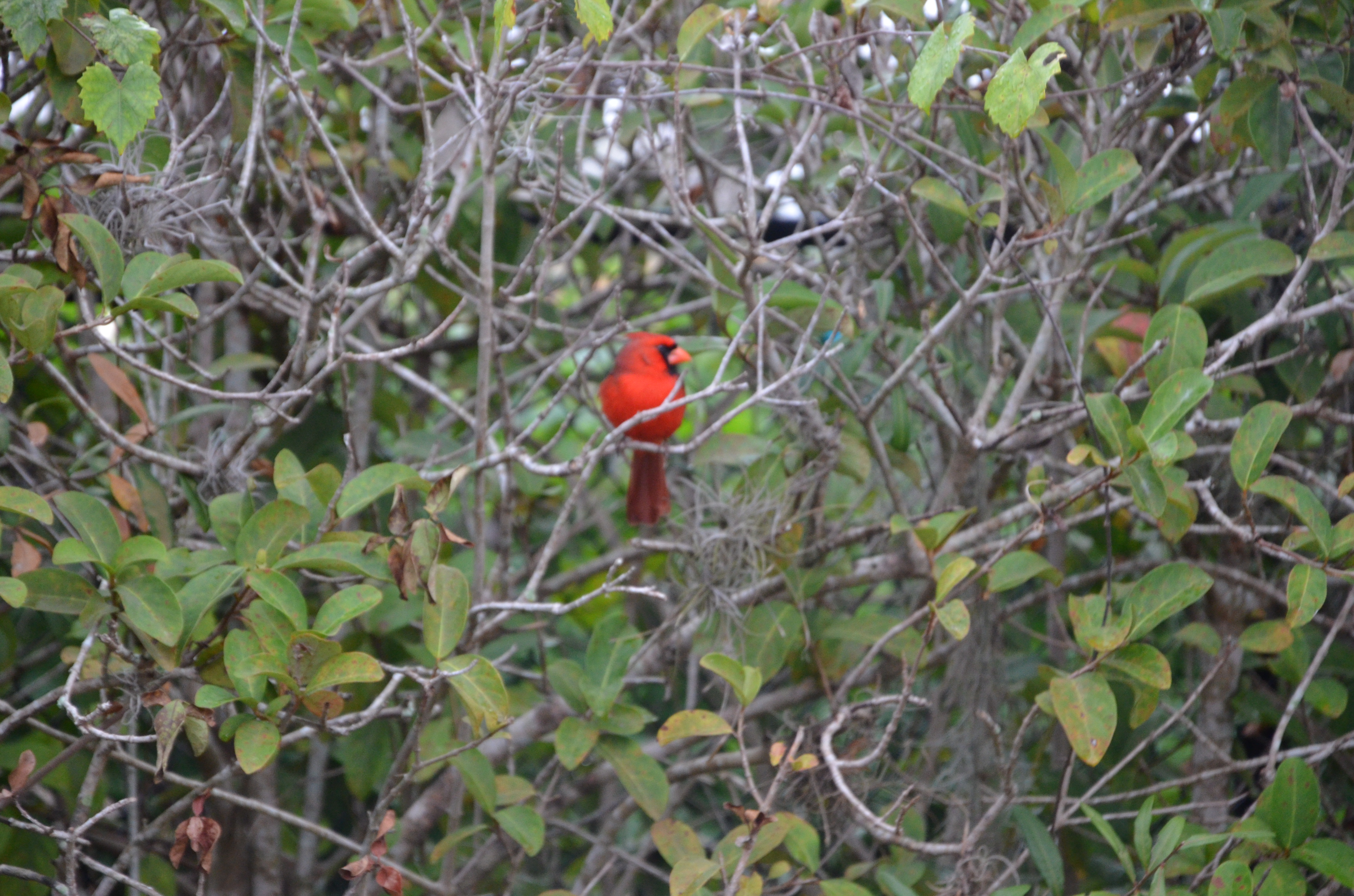 A Cardinal in the bush.